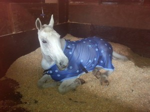 Inik having a lovely rest wearing his Equine Magnetix rug