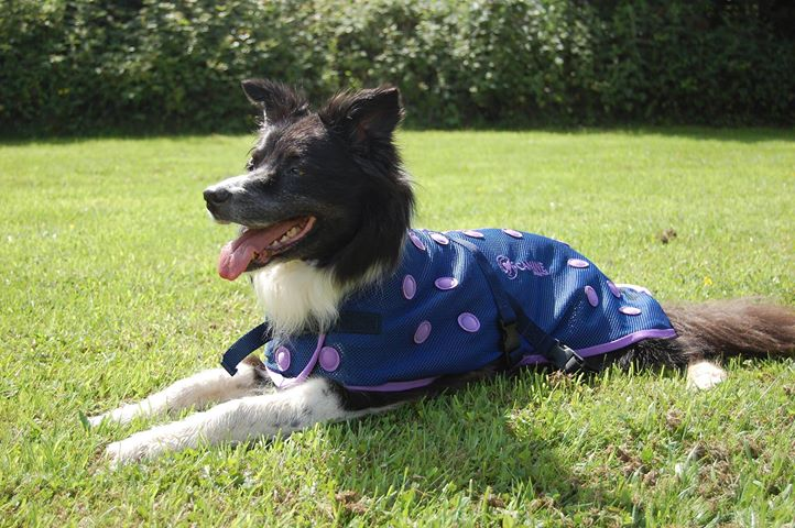 Piper wearing her Canine Magnetix Dog Coat