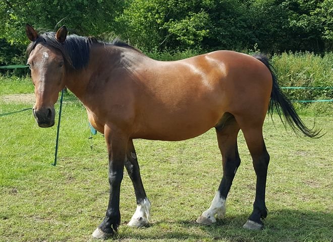 Josh a 21 yr old horse with arthritic stifles benefits from magnetic ankle boots