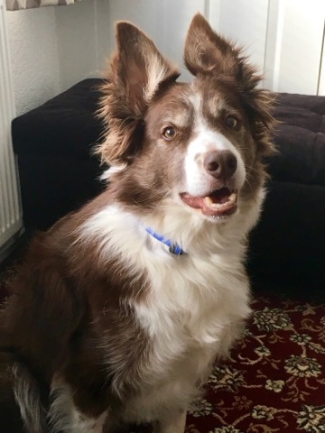 Border Collie, Milo wearing his magnetic collar