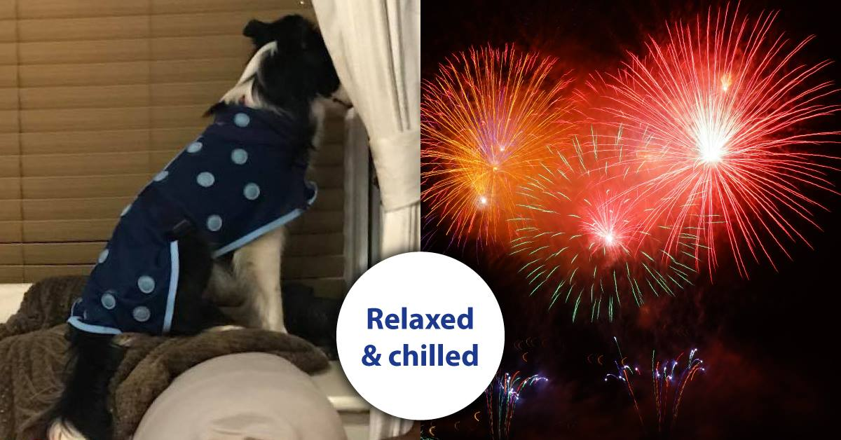 Zeta calmly watching fireworks while wearing her magnetic dog coat
